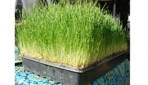 Wheatgrass in a pot outside